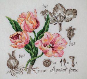Tulipe Aprikot Lale
